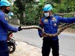petugas-dinas-damkar-bojonegoro-saat-mengevakuasi-ular-piton-dari-rumah-warga-di-desa-sumberejo.jpg