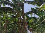 pisang-hijau-yang-bertandan-4-di-desa-metesih-kecamatan-jiwan-kabupaten-madiun.jpg
