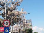 pohon-tabebuya-mekar-di-jalan-jalan-protokol-kota-surabaya-senin-18112019.jpg