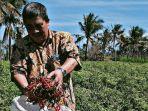 prihasto-setyanto-selaku-direktur-jenderal-hortikultura-saat-memeriksa-cabai.jpg