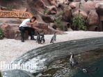 seorang-keeper-eka-bagus-pratama-saat-memberi-makan-penguin-humboldt-di-eco-green-park_20171126_202214.jpg