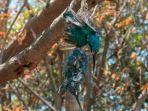 spesies-burung-dilindungi-ditemukan-mati-tergantung.jpg