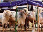 tiga-ekor-sapi-milik-rizky-billar-dan-lesty-kejora-untuk-hari-raya-idul-adha-1442-h.jpg