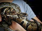 ular-ball-python-atau-ular-python-regius.jpg
