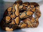 ular-piton-terlantar-di-tarekot-kini-membaik.jpg
