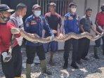 ular-sanca-kembang-dievakuasi-petugas-damkar-di-warung-milik-tomo-di-desa-plosowahyu-lamongan.jpg