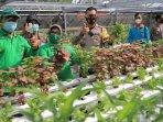 wali-kota-madiun-maidi-panen-sayuran-di-kebun-hidroponik-di-kelurahan-pangongangan-madiun.jpg