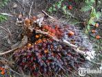 wujud-buah-sawit-yang-ditanam-di-desa-bandungrejo-kecamatan-bantur-kabupaten-malang.jpg