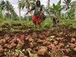 yudi-petani-saat-memanen-ubi-di-lahan-pertaniannya-selasa-2322021.jpg