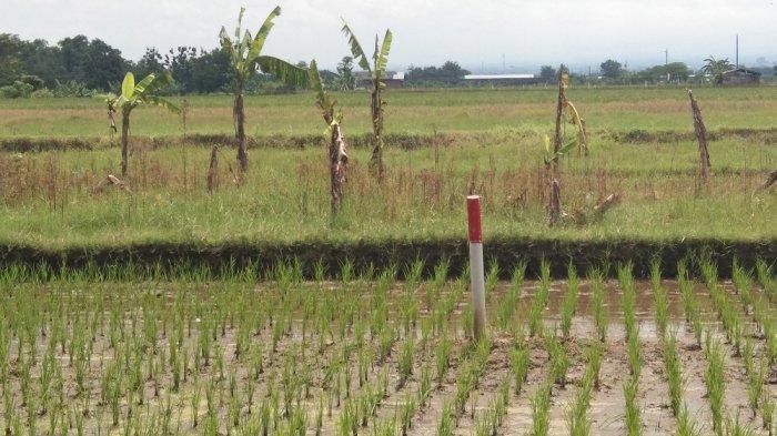 Penampakan patok tol pembangunan jalan tol Yogyakarta-Solo yang berada di sebuah persawahan di Desa Kranggan, Kecamatan Polanharjo, Kabupaten Klaten, Selasa (16/3/2021).
