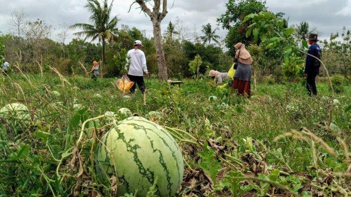 Petani Paliyan Gunungkidul Kembangkan Agrowisata, Modal Rp 30 Juta Hasilkan Keuntungan Ratusan Juta