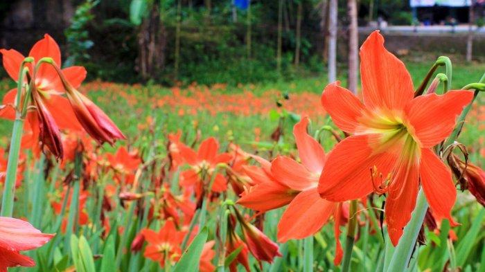Keindahan Taman Bunga Amaryllis Bisa Dinikmati Lagi November Mendatang Tribun Jogja