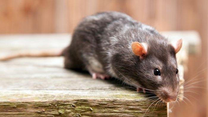 14 Arti Mimpi Tikus Menurut Primbon Jawa, Benarkah Pertanda Sial?