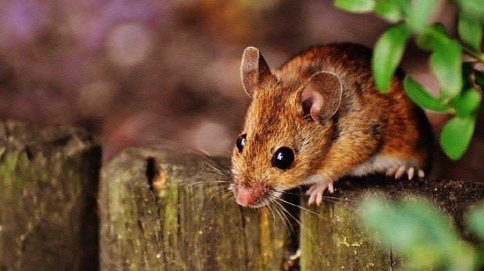 Inilah 20 Arti Mimpi Tentang Tikus, Pertanda Hoki dan Keberuntungan Mendekati Hidup Anda