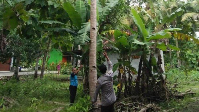 BREAKING NEWS : Jatuh dari Pohon Kelapa, Penderes Nira di Kulon Progo Tewas