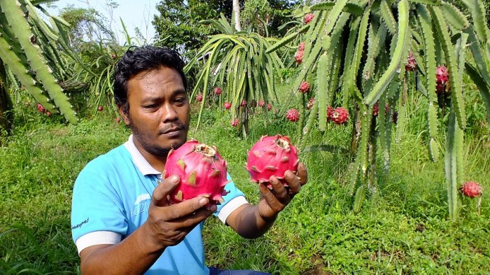 Sepekan Jelang Imlek, Pedagang Buah Naga Kalibawang Mulai Kelarisan