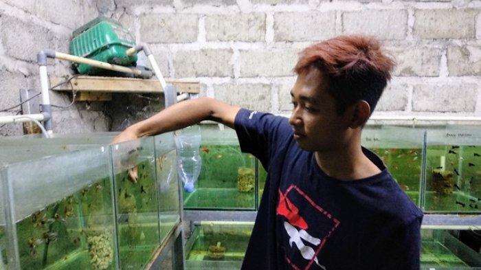Kisah Sukses Pemuda Asal Ngipik Gunungkidul, Budidaya Ikan Guppy Miliknya Raup Peningkatan Omzet