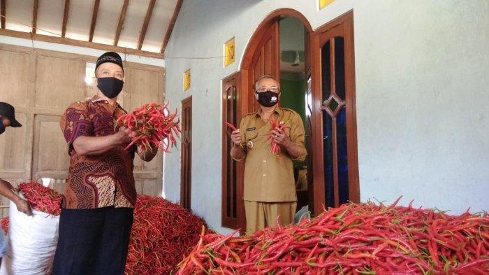 Lelang Perdana, Petani Cabai Merah di Bantul Tuai Untung