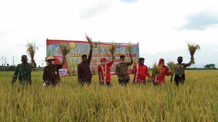 Bupati Klaten Sri Mulyani Laksanakan Panen Perdana Padi Merah di Desa Demakijo