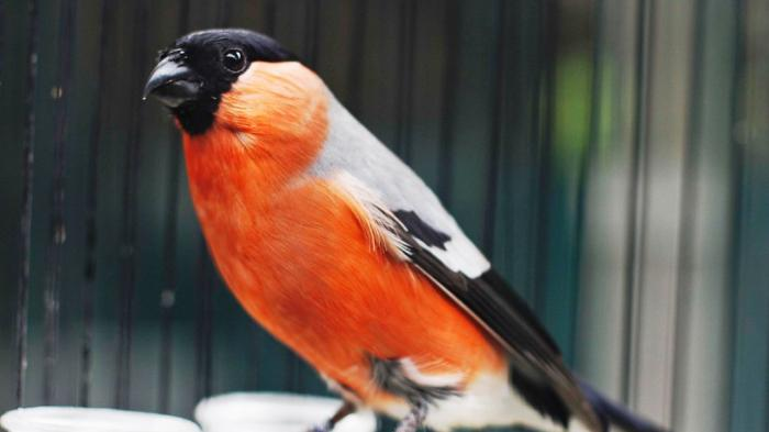 Ini Jenis Burung Finch Yang Populer Dipelihara Tribun Jogja