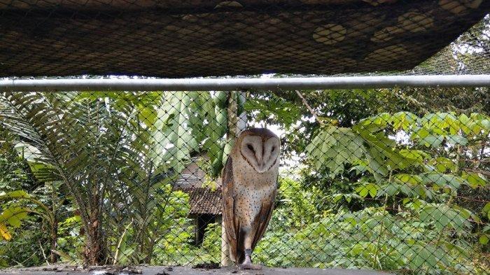 Burung Hantu Serak Jawa Kontrol Populasi Tikus Hingga 15 Persen Di Lahan Pertanian Tribun Jogja