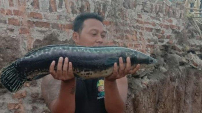 Ikan Toman Klaten Ditawar Rp5 Juta Tak Dilepas, Pemiliknya Mimpi Seperti Ini