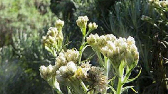 Meski Indah Dan Cantik Ternyata Bunga Edelweis Tidak Boleh Dipetik Lho Halaman 2 Tribun Jogja
