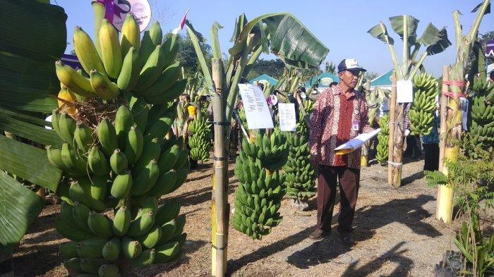 Festival PisangTampilkan Pisang Lokal Asli Bantul