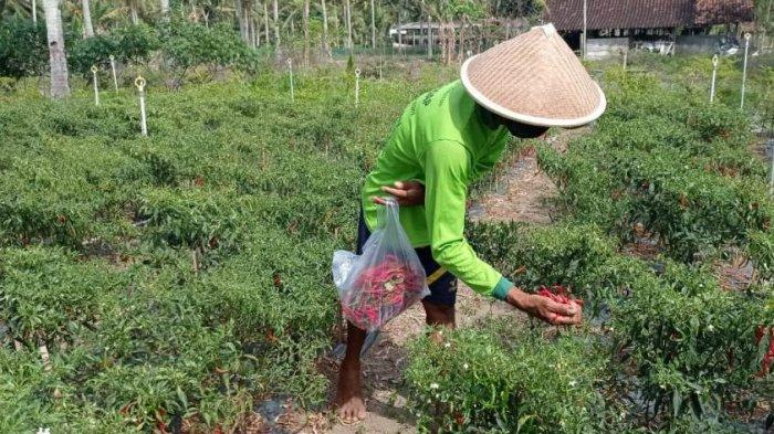 Harga Jual Cabai Merah Keriting di Kulon Progo Merosot Disebabkan Adanya PPKM