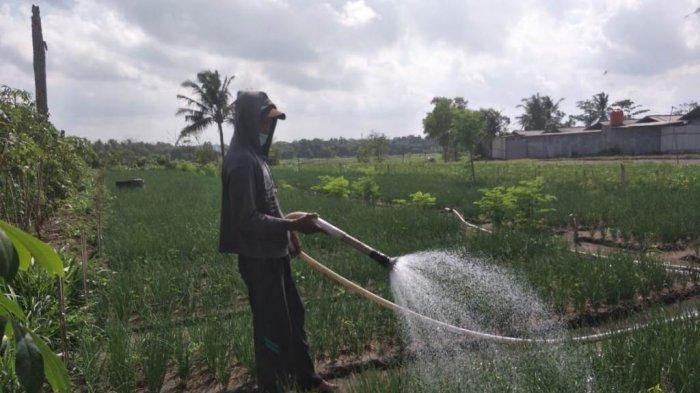 Harga Sedang Tinggi, Petani Bawang Merah di Bantul Sumringah