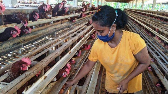Harga Telur Ayam di Kulon Progo Anjlok, Peternak Khawatir Terancam Gulung Tikar