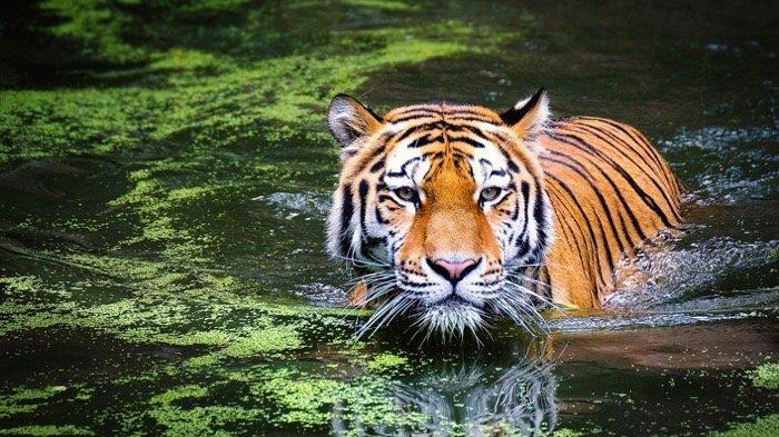 6 Arti Mimpi Dikejar Harimau yang Mungkin Pernah Kamu Alami