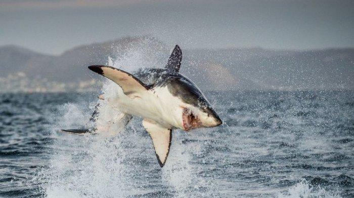 Ilustrasi hiu putih besar