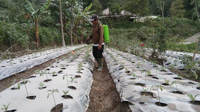 Seorang warga Dukuh Pajegan, Desa Tegalmulyo, Kabupaten Klaten menyemprot tanamannya agar tidak layu setelah diguyur hujan abu, Jumat (25/6/2021).