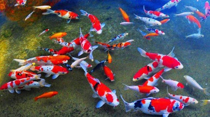 7 Arti Mimpi Melihat Ikan, Pertanda Keberuntungan Hingga Bahaya