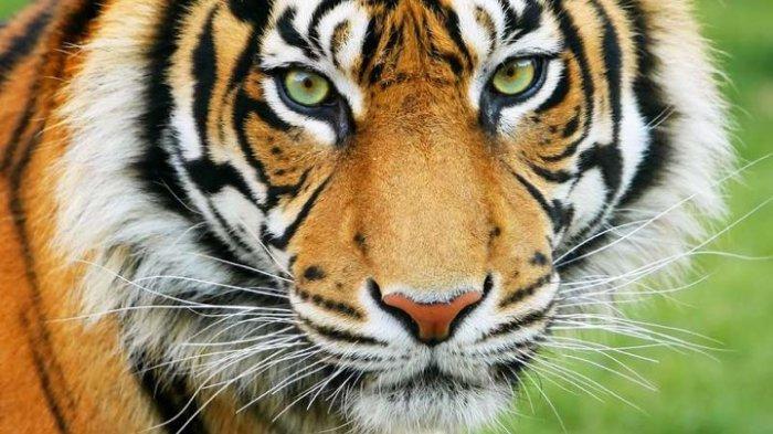 Arti Mimpi Dikejar Harimau Menjadi Pertanda Baik, Anda Mungkin Segera Mendapat Rezeki