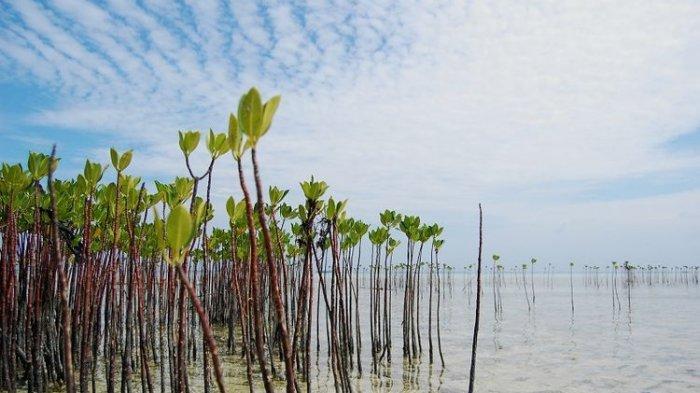 Rusak Hutan Mangrove, Warga Bantul Tolak Tambang Pasir di Muara Sungai Opak, Minta Polisi Tak Diam