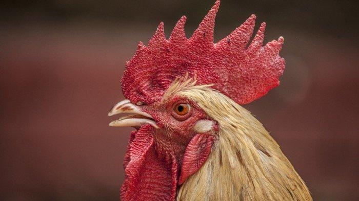 Ilustrasi jengger ayam