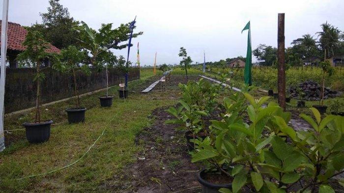 Dusun Bendosari Ada Kebun Buah Eduwisata Ini Tujuannya Tribun Jogja