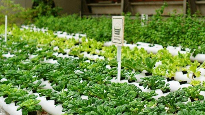 Kebun hidroponik Creative Farming di Greenhost Boutique Hotel