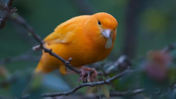 Tips Merawat Burung Kenari Agar Bisa Hasilkan Kicau Yang Bagus Tribun Jogja