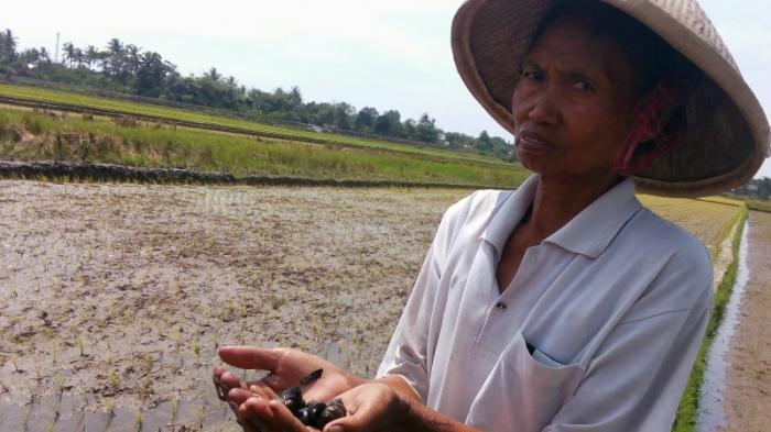 Tangkap Peluang Bisnis Sekaligus Atasi Hama Keong Mas, Petani di Sindutan Kembangkan Ternak Bebek