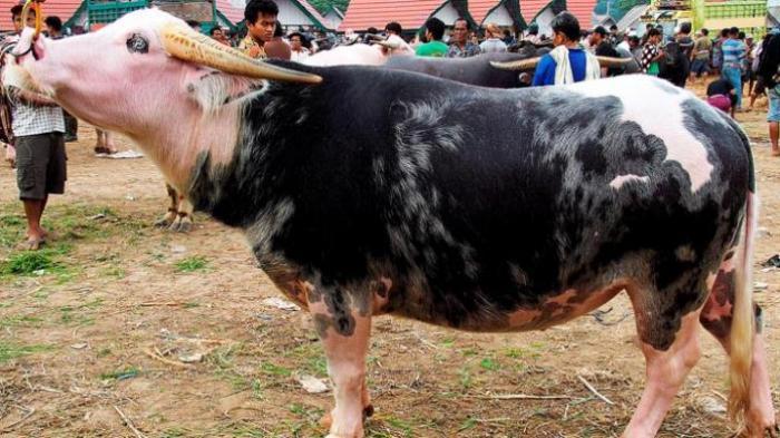 Cerita Kerbau Seharga Rp1 Miliar di Toraja