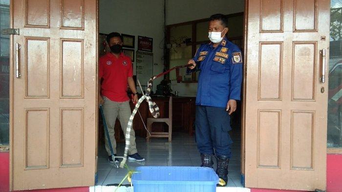 Kesaksian Petugas Saat Evakuasi Ular Weling Ngumpet di Tumpukan Minuman Sachet Toko Modern Klaten