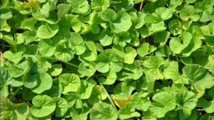 Khasiat Daun Pegagan atau Centella asiatica