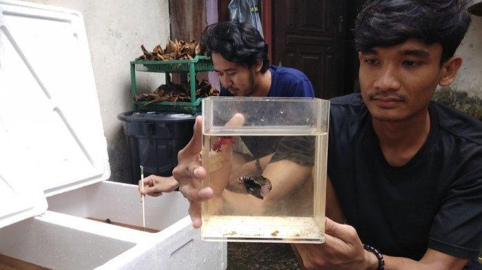 Kisah Warga Bantul Meraup Rupiah dari Budidaya Ikan Cupang