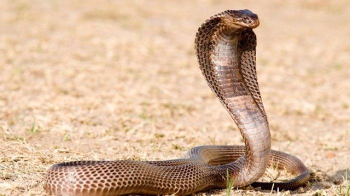 Perbedaan Ular King Kobra dan Kobra Jawa, Ini Penjelasan dari Ahli Reptil