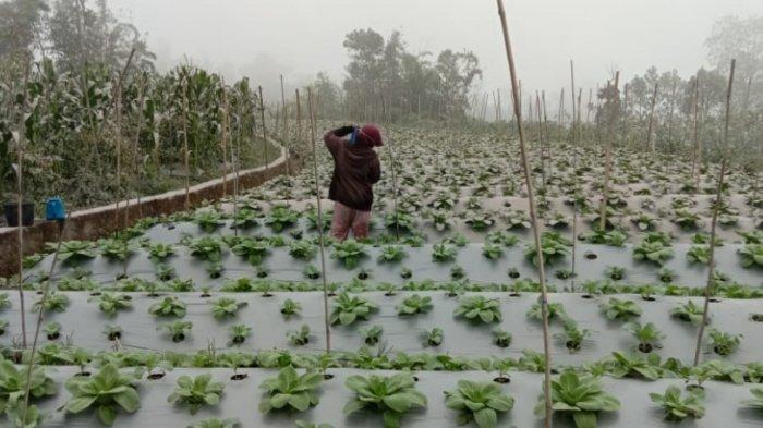 Kena Dampak Abu Vulkanik Merapi, Petani Bagikan Gratis Sayur-mayur