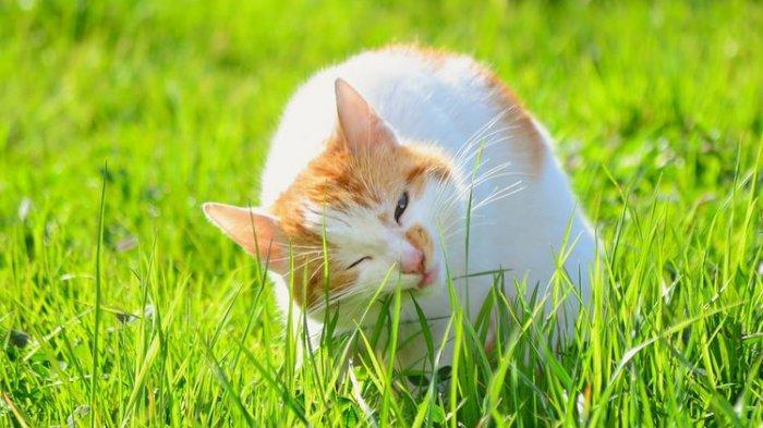 Ilustrasi kucing makan rumput