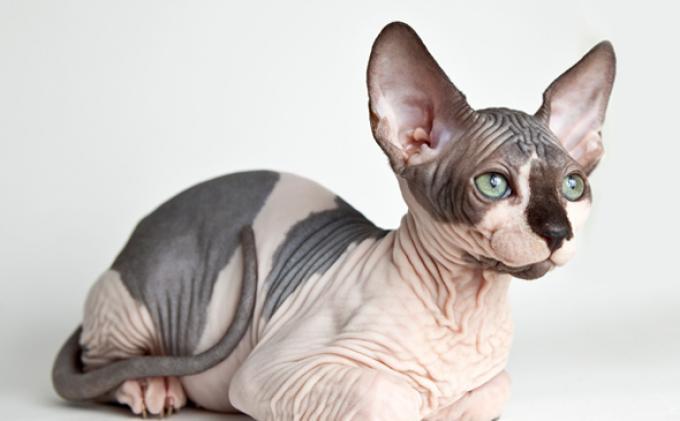 Kucing Gundul Ini Harganya Mencapai Rp 25 Juta Tribun Jogja